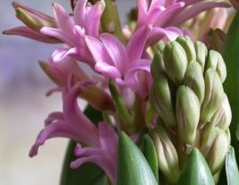 hyacinth-pink