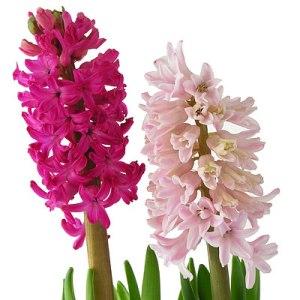 hyacinth_double
