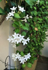 Stephanotis - poted